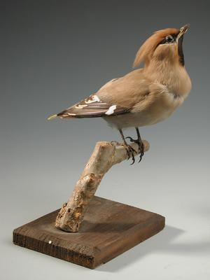 Csonttollú (Bombycella garrulus)